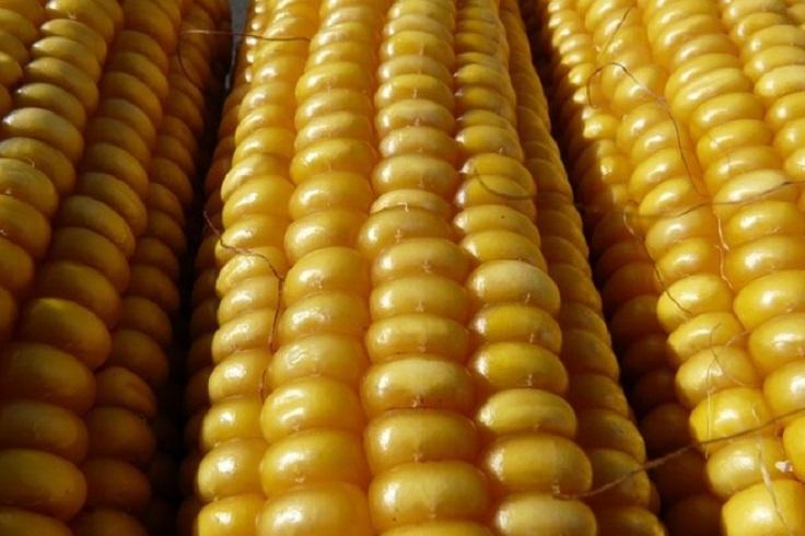 corn-1
