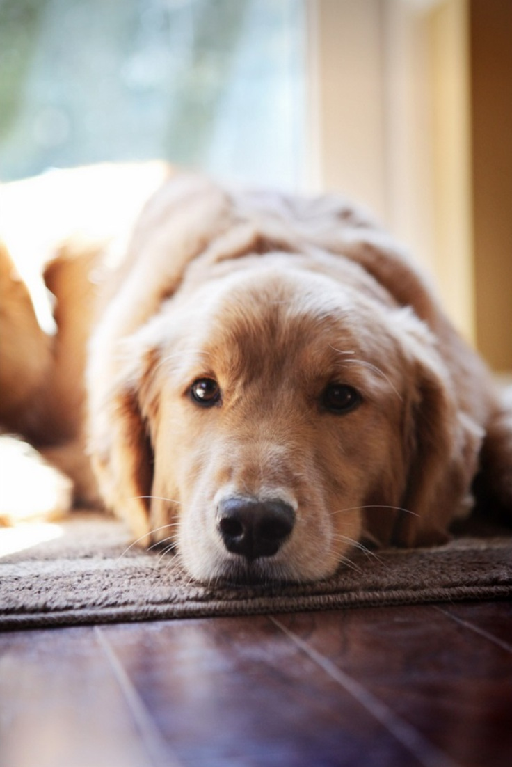10 best dog breeds for a family with children most popular - Best dog breeds kids ...