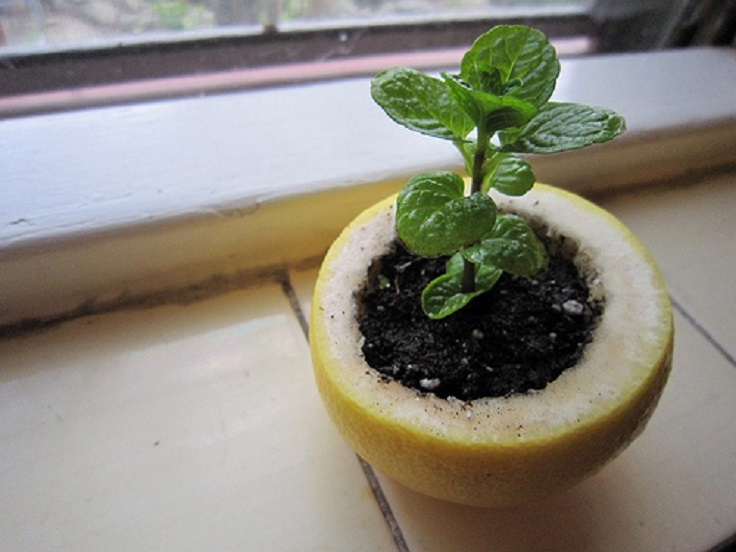 citrus-peel-seedling