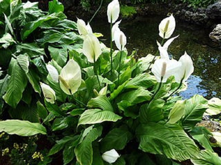 1-Peace-Lily-Spathiphyllum-Air-Detoxifying-Plants