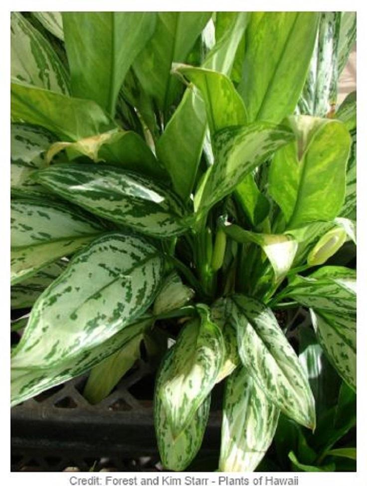 3-Chinese-Evergreen-Aglaonema-Modestum-Air-Detoxifying-Plants