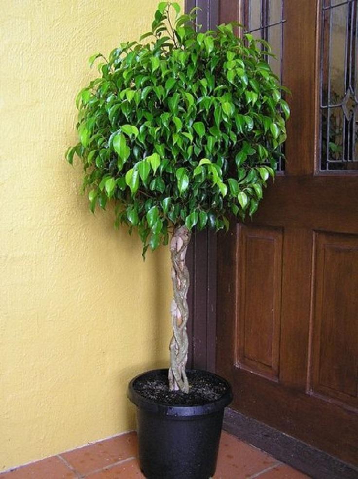 5-Ficus-Ficus-Benjamina-Air-Detoxifying-Plants