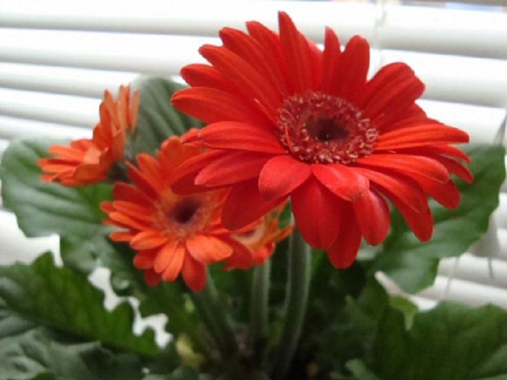 6-Gerber-Daisy-Gerbera-Jamesonii-Air-Detoxifying-Plants