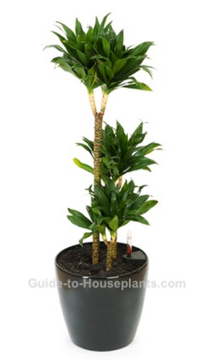 7-Janet-Craig-Dracaena-deremensis-Air-Detoxifying-Plants
