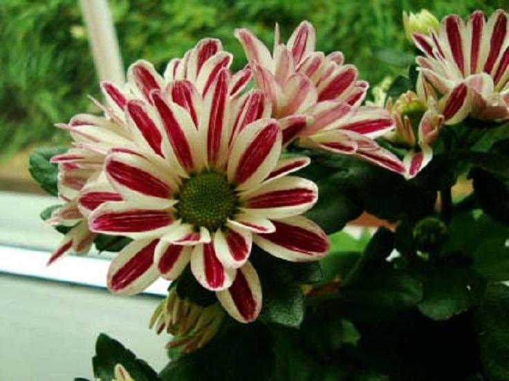 8-Pot-Mum-Chrysantheium-morifolium-Air-Detoxifying-Plants