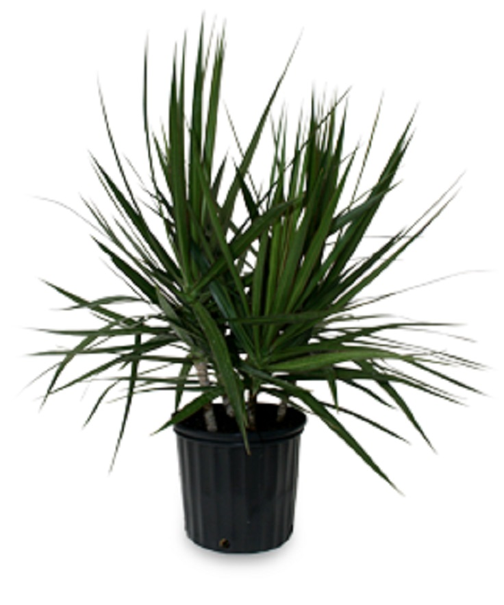 Top 10 air detoxifying plants for indoor use top inspired for Dracaena marginata