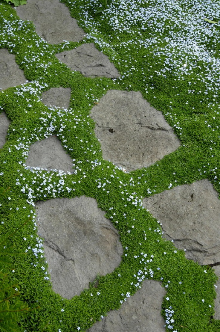 garden design garden design with irish moss seeds sagina subulata, Natural flower