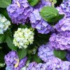 TOP 10 Tips on How to Plant, Grow and Care for Hydrangeas | Top Inspired