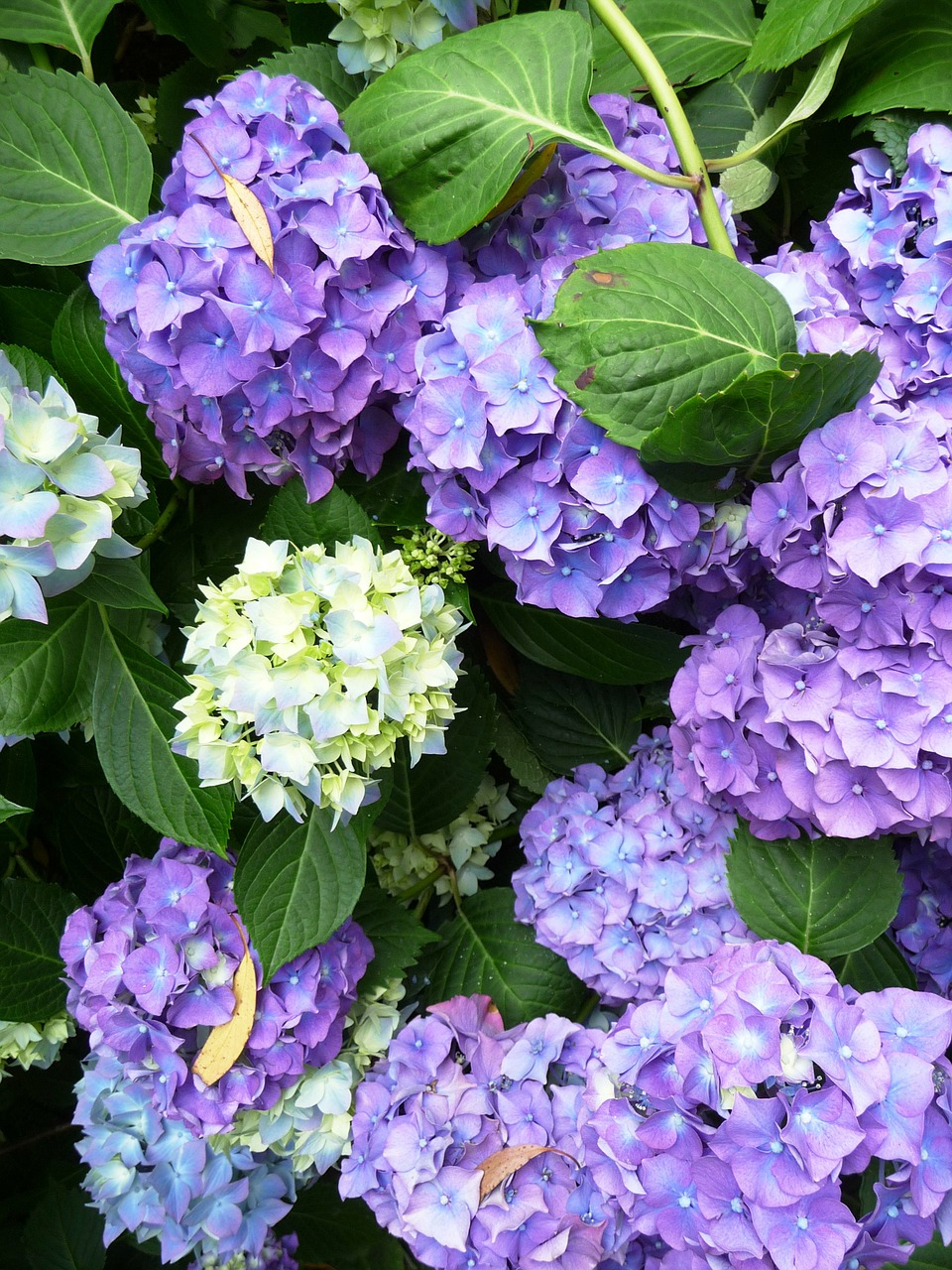 Hydrangea top 10 tips on how to plant grow care - Caring hydrangea garden ...