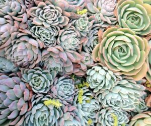 Top 10  Stylish Succulents for Your Home Garden