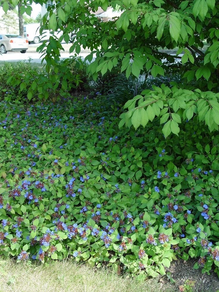 plants and ground cover for your paths and walkways, Natural flower