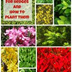 TOP-10-Best-Plants-for-Hedges-and-How-to-Plant-Them-150x150
