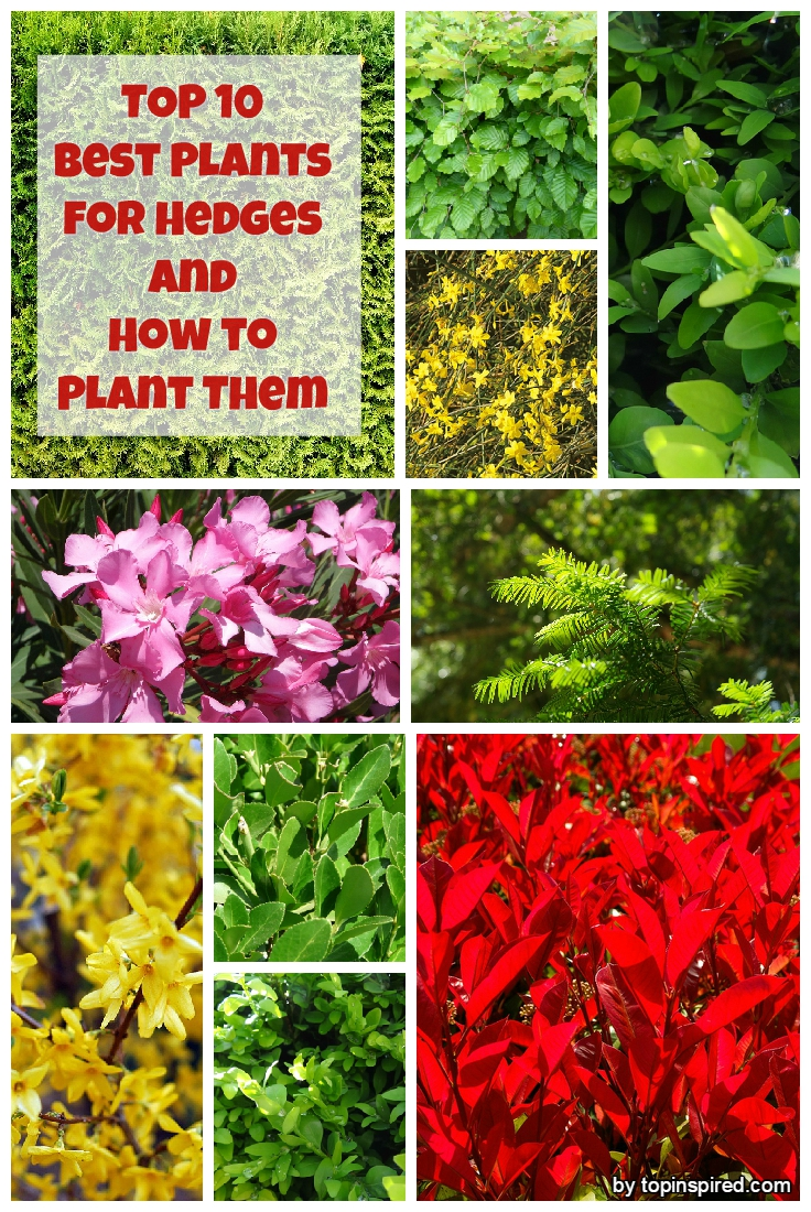 Top 10 best plants for hedges and how to plant them for Garden shrubs