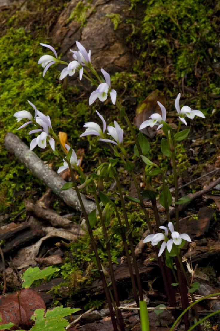 Threebirds-orchid