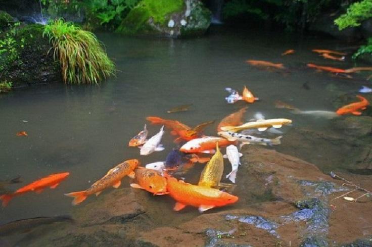 10-Koi-Carp-Pond