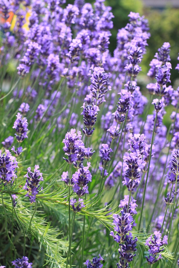 TOP 10 Scented Plants That Will Make Your Garden a Fragrant Paradise