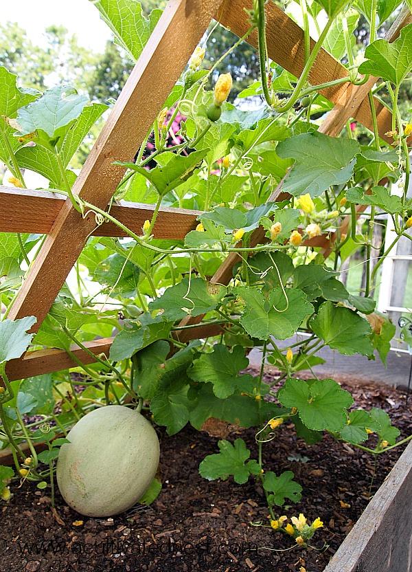 Fertilizing-Cantaloupes
