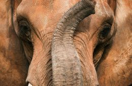 TOP 10 Differences Between African and Asian Elephanths | Top Inspired