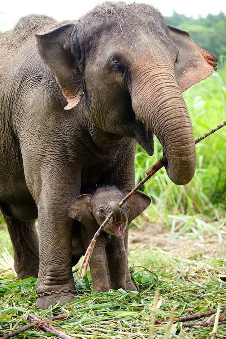 TOP 10 Differences Between African and Asian Elephants ...