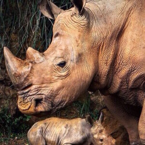 TOP 10 Differences Between the 5 Rhino Species | Top Inspired