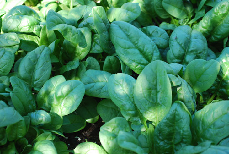 topgrowing-spinach1-lg