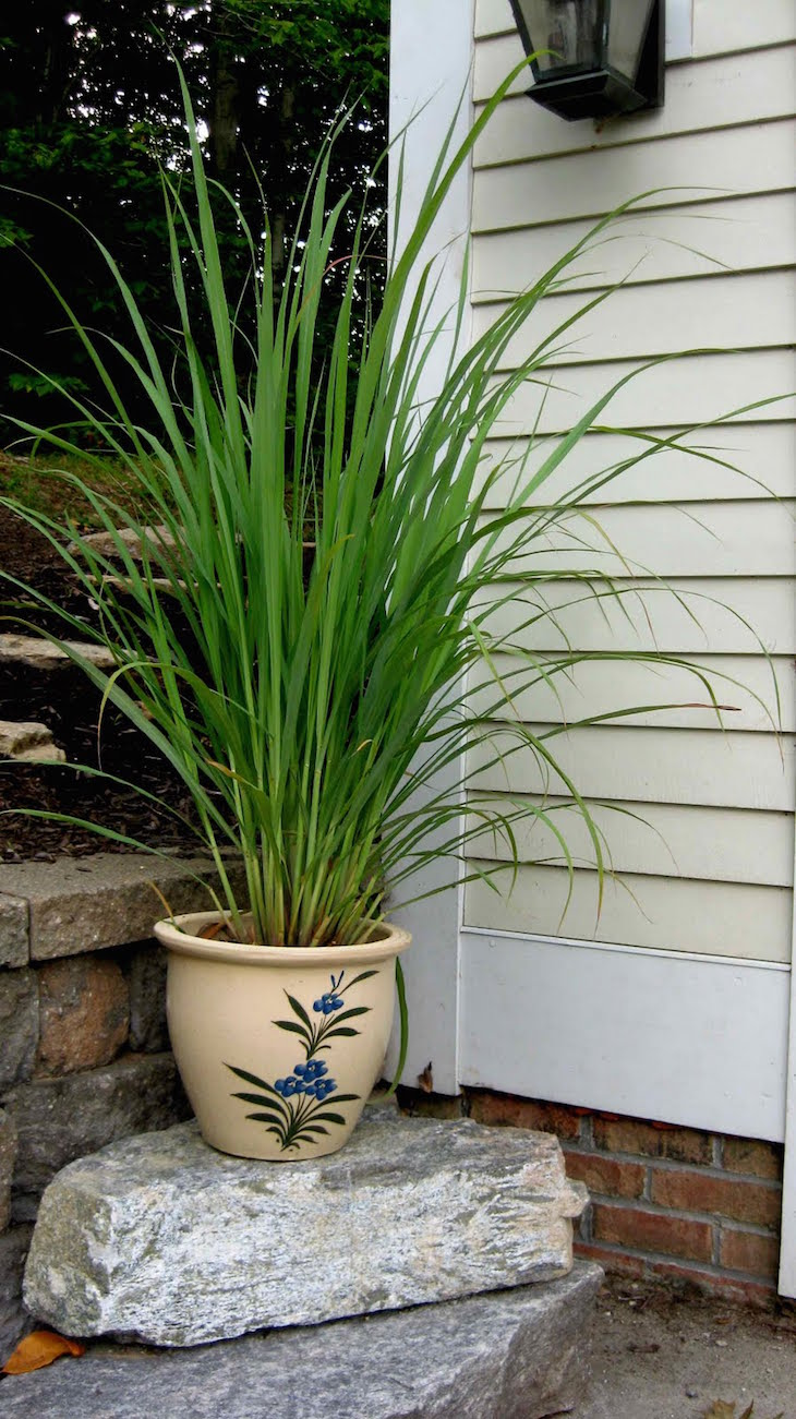TOP 10 Tips On How To Grow Your Own Lemongrass - Top Inspired