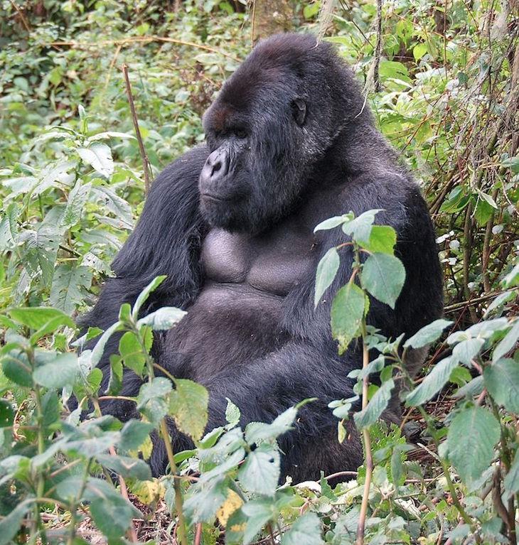 top800px-Susa_group_mountain_gorilla