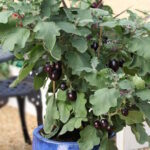 TOP 10 Miniature Vegetables to Grow in Pots | Top Inspired