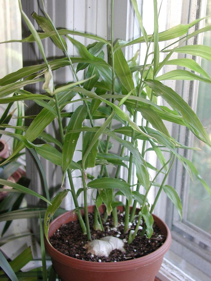 topGinger-growing-in-pot