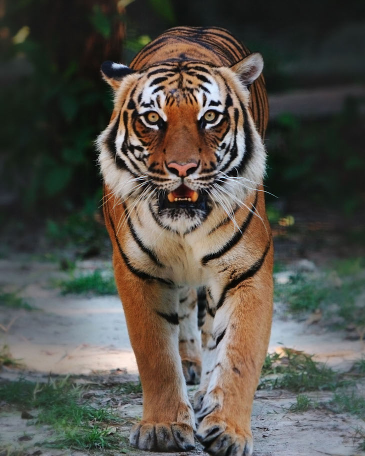topindo-chinese-tiger