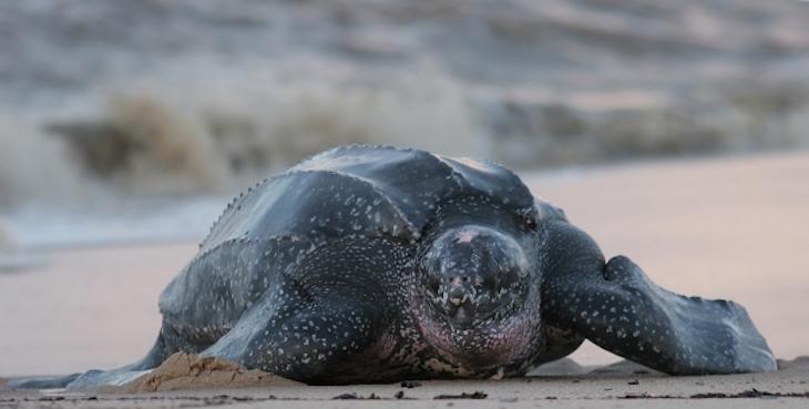 topleatherback-sea-turtle