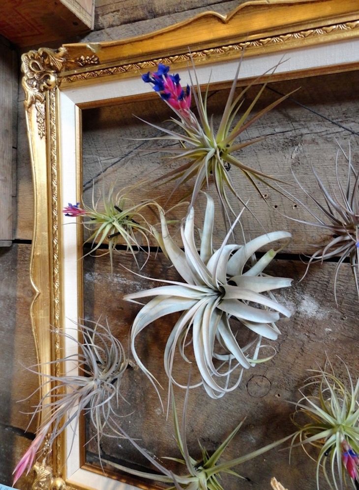 topmost-beautiful-air-plant-display-ideas-picture-frame-tillandsias