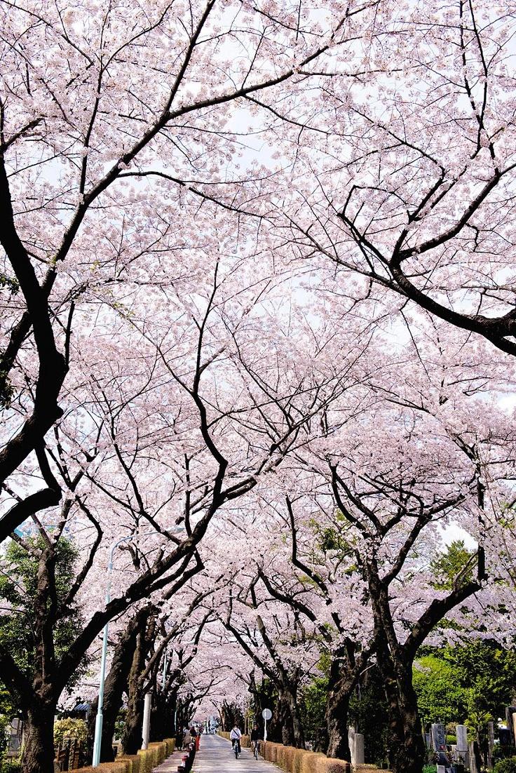 Cherry-Blossom-in-Tokyo