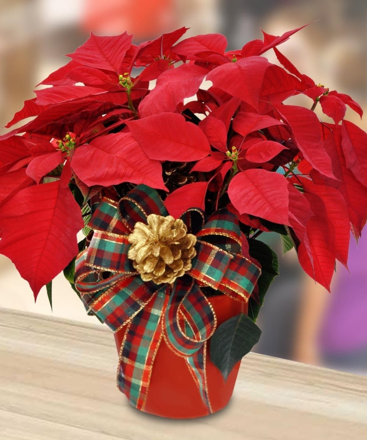 top 10 yearround care tips for christmas poinsettias - Christmas Poinsettia
