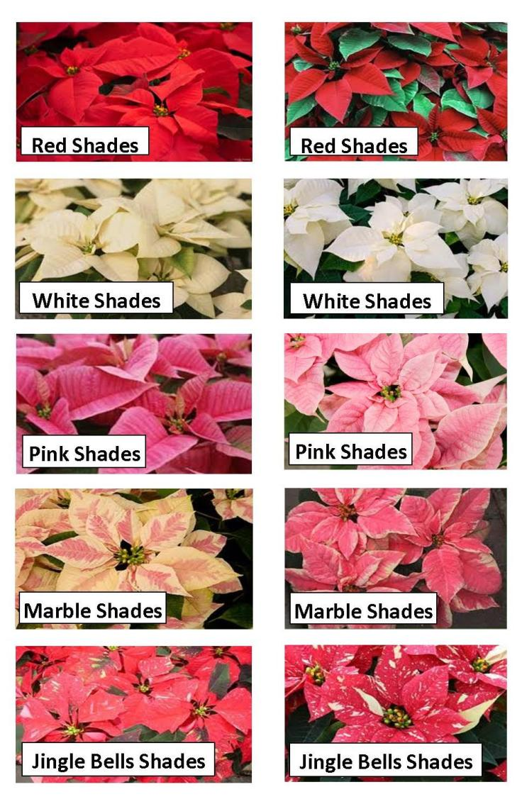 TOP 10 Year-Round Care Tips for Christmas Poinsettias