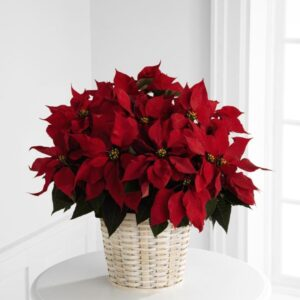 Placing-Your-Poinsettia-in-The-Right-Spot-300x300