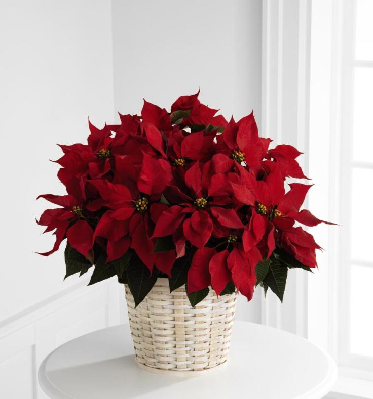 Placing-Your-Poinsettia-in-The-Right-Spot
