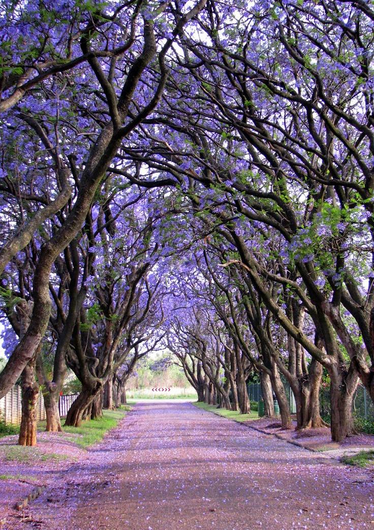 Jacaranda-Tree-Tunnel-South-Africa