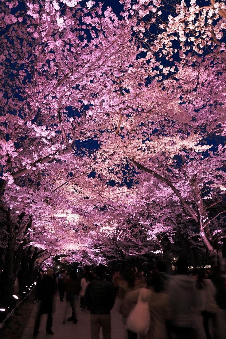 Sakura-Tree-Tunnel-Japan