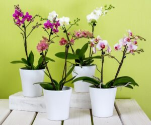 Top 10 Phalaenopsis Orchids Care Tips