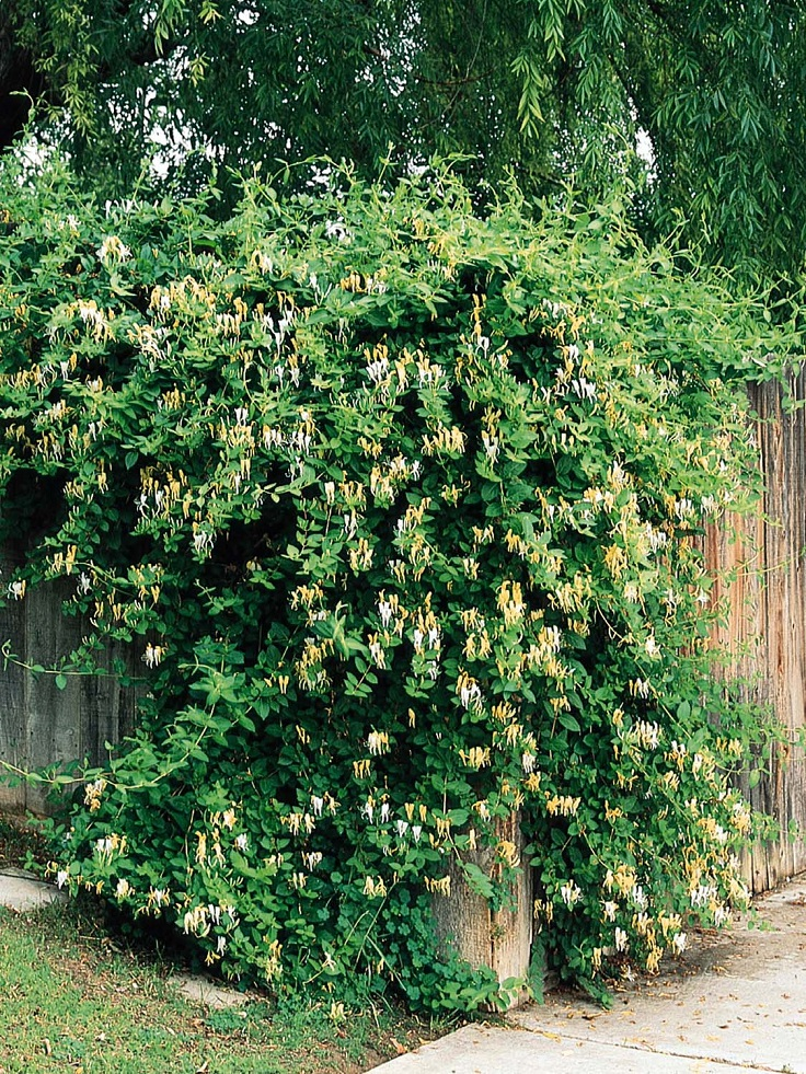 Top 10 Beautiful Climbing Plants For Fences And Walls Page 8 Of 10 Top Inspired