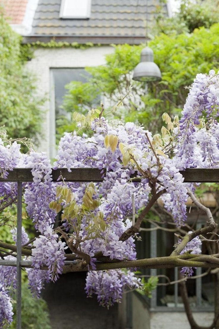 Top 10 beautiful climbing plants for fences and walls for The wisteria