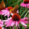 Butterfly Purple Cone