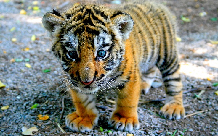 baby-tiger-pictures-4