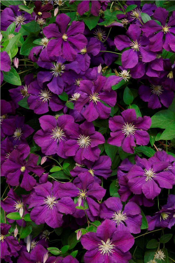 #Top 10 Tips on Growing Gorgeous Clematis Vines