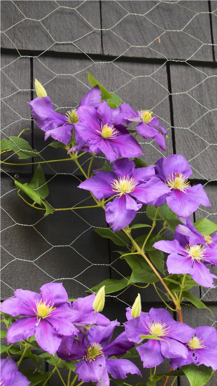 Top 10 Tips On Growing Gorgeous Clematis Vines