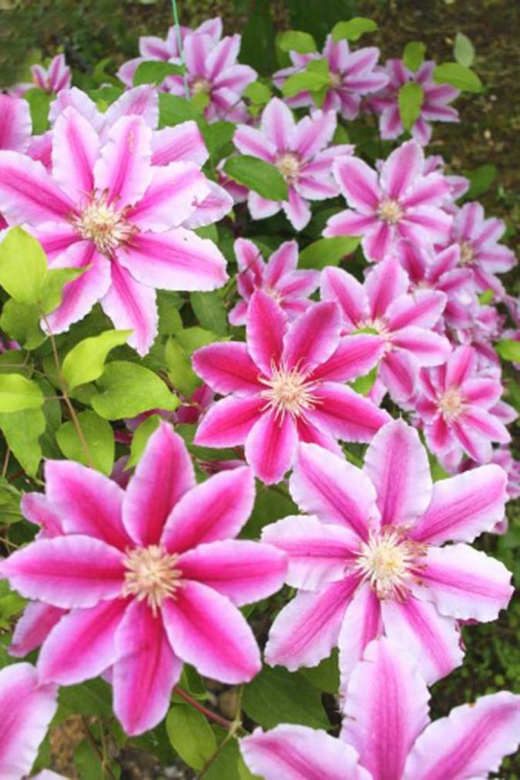 top 10 tips for growing climbing clematis garden pics and tips. Black Bedroom Furniture Sets. Home Design Ideas