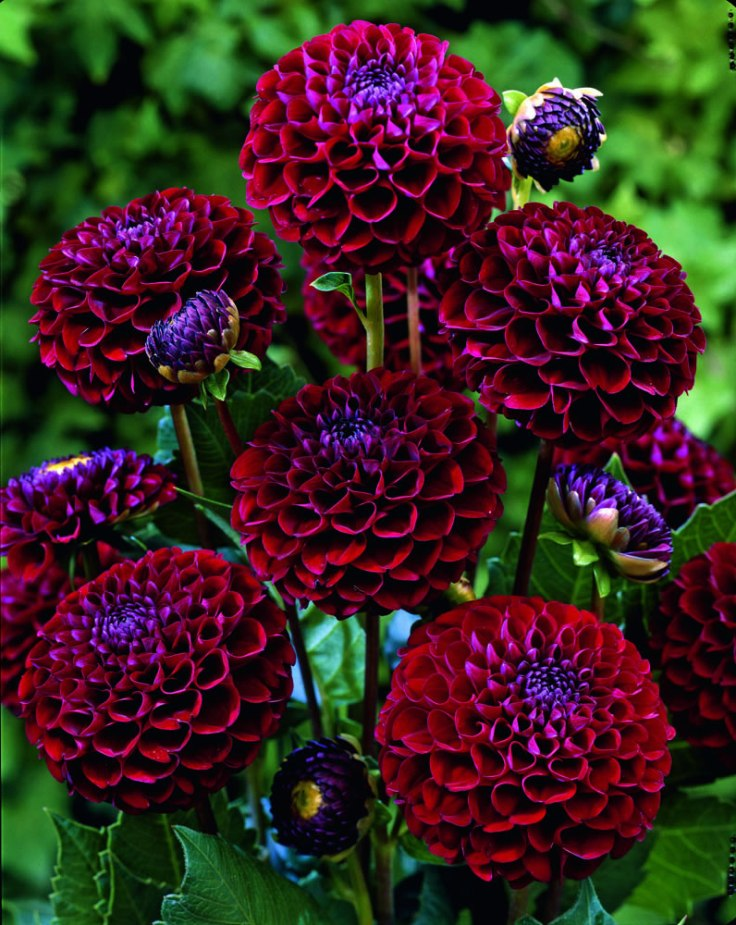 Top 10 tips on how to plant grow and care for dahlia for Low maintenance summer flowers
