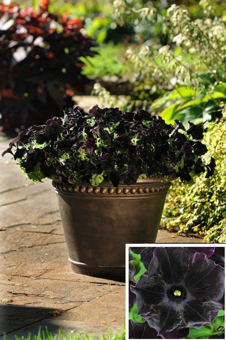 Garden Bush: 10 Black Flowers And Plants To Add Drama To Your Garden