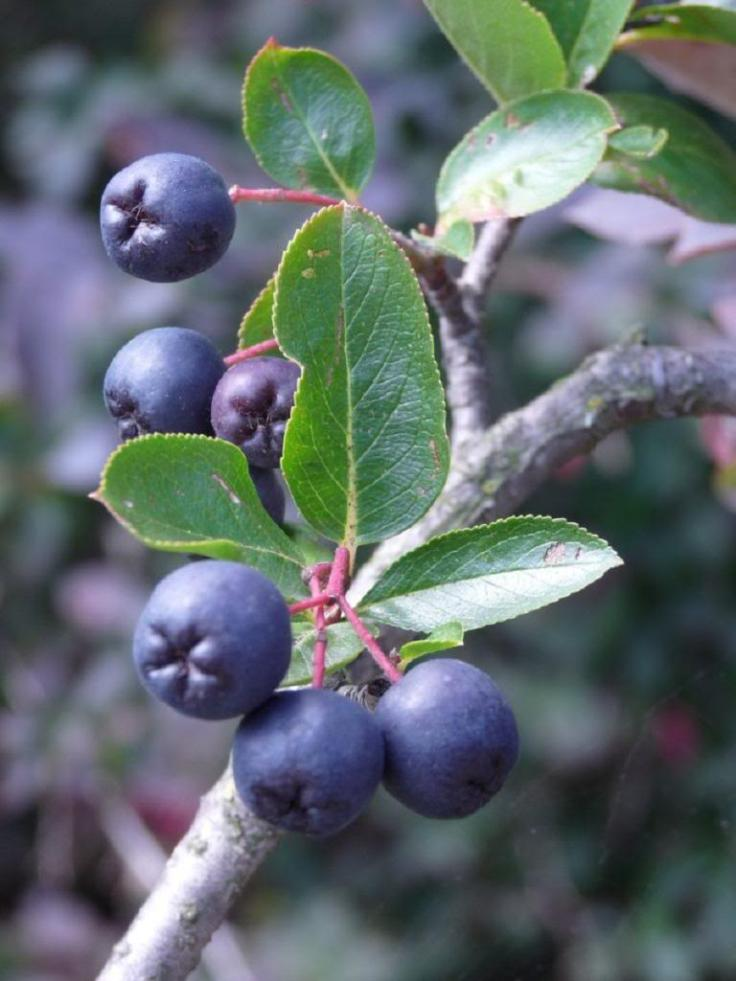 Top 10 Tips On Planting And Growing Aronia Berries